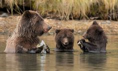 "bears–bears–bears: ""Grizzly mom and cubs sharing a snack by David Hemmings """