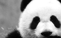 classic panda!!!