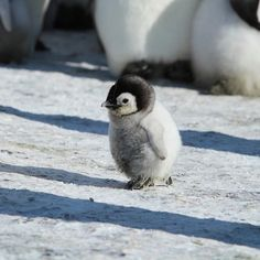 Animals world on i m in love with the shape of you photo by se daily fluffy {hashtags cercle de noms avec des bulles et des bbs animaux craft bebes bebes menino bebes meninas Baby Animals Pictures, Cute Animal Pictures, Penguin Pictures, Cute Puppies, Cute Dogs, Cute Babies, Cute Little Animals, Cute Funny Animals, Adorable Baby Animals