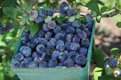 Pic: Fresh Blueberries at the Farm