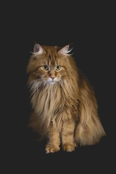 Mainecoon cats at the Pet photographer ni - The Pet Photographer Ni