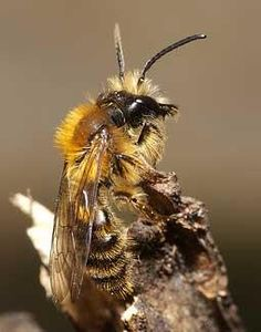 Nico Vereecken - solitary bee.... Not for hives