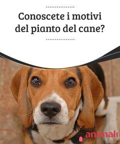 Conoscete i motivi del pianto del cane?   Il cane piange? Nel #linguaggio canino, il pianto non può essere interpretato come fosse un modo di esprimere il proprio stato #emotivo, come nelle #persone. #Salute