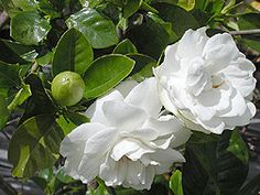Gardenia o Jazmín del Cabo: ficha de la planta de la semana - INFOJARDIN