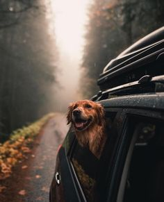 """4,592 Likes, 46 Comments - Dogs On Adventures™ (@dogsonadventures) on Instagram: """"Rainy drives through the Washington wilderness... . Thanks @milliethegolden for sharing!"""""""