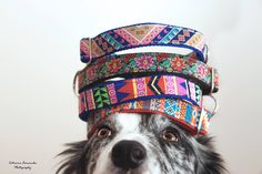 Cheza and the new Tail Wag collection - Dog Collars. Fun dog Pictures. Dog photography. Colorful Dogs. Border Collie. Gray dogs. Dog leashes.