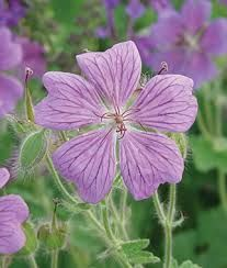 australian native geraniums
