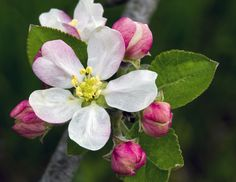 Wild Apple Blossom by Jim Thompson