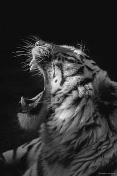 White tiger yawning in a sunbeam Fast Crazy Nature Deals. Beautiful Cats, Animals Beautiful, Yoga And More, Animals And Pets, Cute Animals, Animals Planet, Super Pictures, Gato Grande, Dangerous Animals