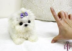 Teacup Maltese Puppies For Sale   ... Micro Teacup Maltese Puppy For Sale ::: Royal Teacup Puppies