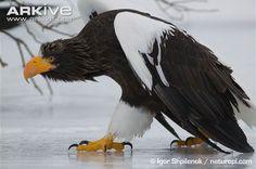 eagle walking - Google 검색