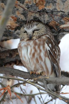 Northern Saw-whet Owl by Trish Sweett, via Flickr