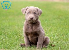 She is a Silver Lab pup ready to meet her new best pal. She is very social and will surely give puppy kisses to Lab Puppies, Puppies For Sale, Silver Labrador Retriever, Bulldog Breeds, Silver Labs, Dog Lovers, Little Girls, Cute Animals, Pets
