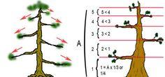 upright bonsai style - chokkan -
