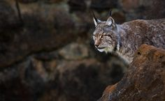 Lynx at Cabárceno Natural Park, Cantabria, Spain. By María José Torres