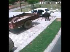 roban una vaca y ls meten en coche increible