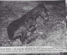 Triple Crown Winner, Seattle Slew, at an hour old. All The Pretty Horses, Beautiful Horses, Lawrence Photos, American Pharoah, Sport Of Kings, Thoroughbred Horse, Horse Quotes, Racehorse, Horse Pictures