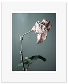 Rose, Wilt, Flower, Fine Art Print, Colour Photography - Archival Print - Mounted, Limited Edition, Contemporary Wall Art  - Wilt #01 by Muteimage on Etsy