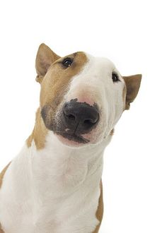 Bull Terrier portrait #Bull #Terrier #Dog #Dogs #Terriers #Animal #Pet #Pets #Funny #Cute