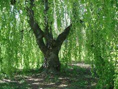 Amazon.com : 50 SILVER WEEPING BIRCH TREE White European Betula Pendula Alba Seeds * Comb S/H : Flowering Plants : Patio, Lawn & Garden