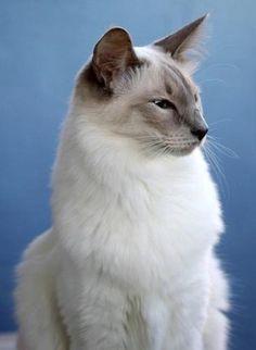 Blue Point Balinese Cat. Looks like my babies Lola and Sebastian