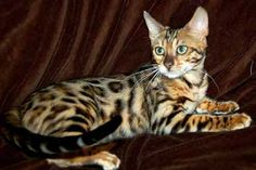 These semi-domesticated Leopard spotted cats are so pretty (aka Bengal). I guess if you don't care about your furniture or the prospect of feeding them live food they'd be amazeballs for pets!! (doesn't have to be live food but they do have a special diet) WildTrax Exotic Spotted Bengals