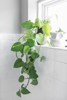 Live 'Hawaiian' Golden Pothos Rooted Plant Starter Pothos Vine. Devil's Ivy Epipremnum aureum – Low Light Live House Plant Cutting Starter | 1000 - Modern#aureum #cutting #devils #epipremnum #golden #hawaiian #house #ivy #light #live #modern #plant #pothos #rooted #starter #vine Big Indoor Plants, Hanging Plants, Indoor Gardening, Indoor Herbs, Outdoor Plants, Ivy Plants, Cool Plants, Cactus Plants, Succulent Planters