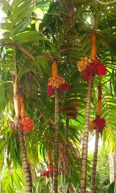 Garden Flowers - Annuals Or Perennials Polynesian Produce Stand : Orange Collar Palm Tree Colorful . Unique Trees, Unusual Plants, Rare Plants, Exotic Plants, Cool Plants, Tropical Landscaping, Tropical Garden, Tropical Plants, Backyard Landscaping