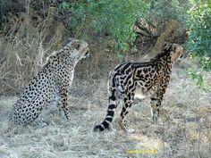 King Cheetah and normal Cheetah. Very rare sighting by a pro photographer