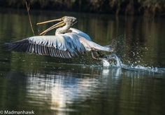 A pelican swooping down for a twig to build his nest... Ranganthetu Bird Sanctuary , Mysore