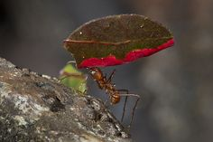 leafcutter ant by Official San Diego Zoo, via Flickr