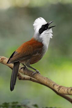 White-crested Laughingthrush -  found in forest and scrub from the Himalayan foothills to Indochina.