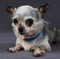 This is the very first photo ever taken of me. National Mill Dog Rescue took it shortly after I was rescued from the puppy mill. Boy, do I look scared (and actually kind of goofy if you ask me). It's really a wonder I got adopted looking like this!