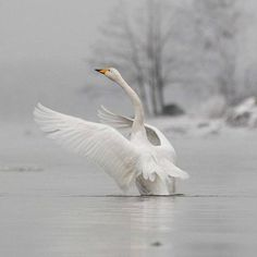 The Whooper Swan or Laulujoutsen is the national bird of Finland Swans, Animals And Pets, Cute Animals, Wild Nature, Pet Birds, Animals Beautiful, Animal Pictures, Creatures, Winter Colors