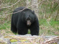 Field judging the size and sex of a black bear in the field can be a challenge. These tips should help you determine if that next bear is a shooter or not. Bow Hunting Bear, Big Game Hunting, Hunting Tips, Bear Mounts, American Black Bear, North To Alaska, Wildlife Decor, We Bear, My Animal