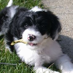 Black Portuguese Water Dog Puppies