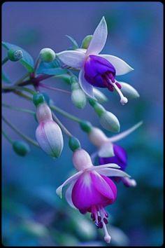Fuchsia. Flowers