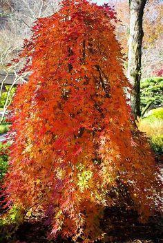 335 Best specimen trees images in 2019 | Specimen trees