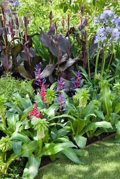Eucomis bicolor with ? need id tropical flowers with Agapanthus and Canna, Annual Summer flowering bulbs mixed together Eucomis bicolor with ? need id tropical flowers with Agapanthus and Canna, Annual Summer flowering bulbs mixed together Tropical Garden Design, Tropical Backyard, Tropical Landscaping, Backyard Landscaping, Landscaping Ideas, Backyard Ideas, Canna Lily Landscaping, Porch Ideas, Tropical Flowers