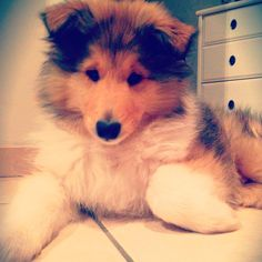 My beautiful rough collie puppy Jules   #roughcollie