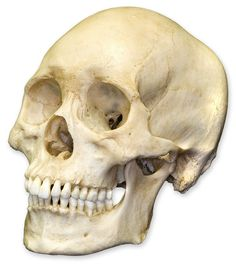 skull | Skull reference at roughly the same angle