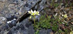 Prickly saxifrage (Photo by Teva Harrison)