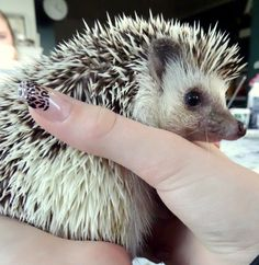 #hedgehog #animal #nails #cute #camera #sony