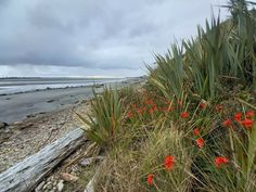 I don't know what these flowers are but there are a lot of them about on the West Coast in Autumn. West Coast, Autumn, Day, Beach, Flowers, Cards, Fall Season, The Beach, Fall