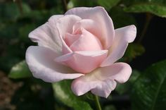 Royal Highness Classic, long pointed buds unfurl into high centered, exhibition style blooms of clear, soft pink. The large blooms are very fragrant. Winner of the Portland Gold Medal. Upright, bushy plant with dark, glossy, leathery green foliage. Petals 40-50, Bloom 5-6