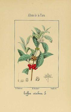 コーヒーノキ アカネ科 Coffea arabica L.  (Arabica Coffee),  Argenta, C.M. de, Album de la flora médico-farmacéutica é industrial, indígena y exótica, vol. 2: t. 55 (1863)