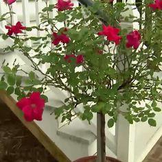 Roses will brightened any space.  #roses #rosechat #mossmountainfarm #joy #sharethebounty @starrosesandplants #flowers