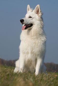 White Swiss Shepherd, Schaefer, Kinds Of Dogs, Reasons To Smile, German Shepherd Puppies, Animal Photography, Husky, Labrador, Dog Cat
