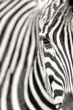Eyes and stripes Photo © Chris Mclennan — National Geographic Your Shot