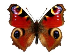 Find European Peacock Butterfly Inachis Io stock images in HD and millions of other royalty-free stock photos, illustrations and vectors in the Shutterstock collection. Peacock Butterfly, Butterfly Painting, Butterfly Wallpaper, Vintage Butterfly, Beautiful Butterflies, Beautiful Birds, Butterfly Illustration, Butterfly Pictures, Christmas Drawing